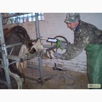 Оказываем услуги по обрезке копыт крс