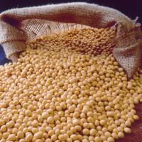 Фирма Yukon Transit закупит зерно сои ГМО и без ГМО на ЭКСПОРТ