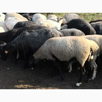 Продаются бараны на мясо