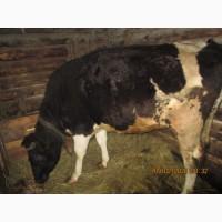 Продам нетель от высокопродуктивной коровы