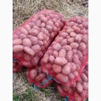 Продам продовольственный картофель сорта Бриз, Ред Скарлет, Скарб, Журавинка, Имала, Ювель