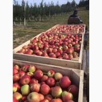 Свежие яблоки:Глостер, Лиголь, Чемпион, Айдаред, Голден