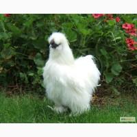 Продам Китайскую шелковую курицу