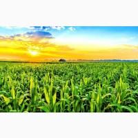 Продам кукурузу зелёной массой(на корню)
