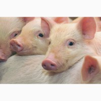 Продам комбикорм свиной гранулированный кк55, мешок 30 кг