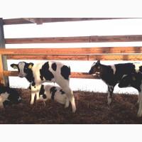 Продам бычков молочных до 100 кг Витебская область