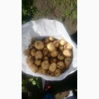 Продам молодой картофель оптом с Украины сорт Ривьера