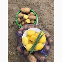 Продам продовольственный картофель, сорт «Скарб»