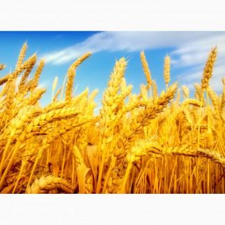 Закупаем фуражную пшеницу Беларусь с дисконтом. Оплата сразу