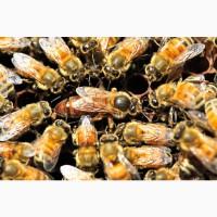 Продам отводки, пчелопакет, пакеты, семьи, пчел, матки Buckfas, линия B611 от Jos Guth