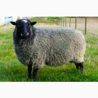 Продам баранину живым весом, овец романовской породы для разведения