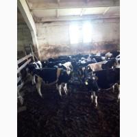 Куплю крупно рогатый скот