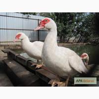 Продам утят пекинской и мускусной утки