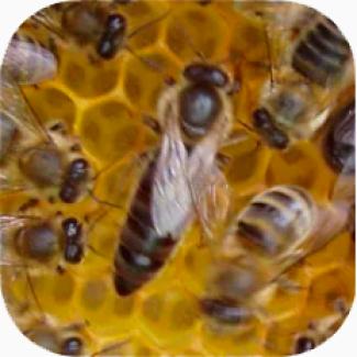 Продаем пчеломаток