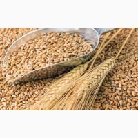 Пшеница, ячмень, кукуруза, горох, шрот 38-42 % прот., жмых 38% с доставкой из России. Опт