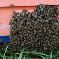 Принимаю заказы на пчелопакеты, пчеломатки Карника, Бакфаст