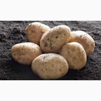 Selling Fresh yellow potatoes, Braslav : All Belarus, Vitebsk Region lt; +45 36 99 01 82