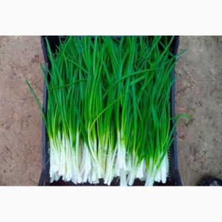 Лук зеленый перо свежий