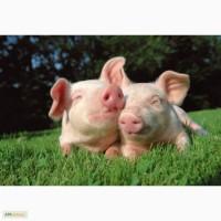 Продаем свинину живым весом