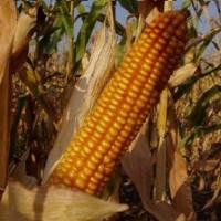 РОСС 199МВ (ур.2020, РФ) кукуруза продам
