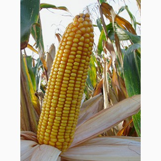 Продам семена гибридов кукурузы F1 Краснодарский 194МВ в наличии, удостоверения РБ