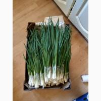 Продам зеленый лук