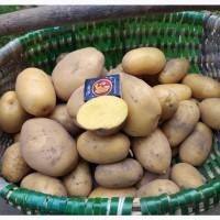 Продам картофель, сорт королева Анна и д.р
