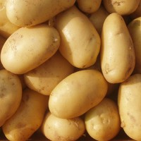 Selling Quality Exporter Grade A Potato At Best Prices lt; +45 36 99 01 82