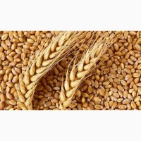 Семена пшеница озимая: Элегия, Ядвися, Маркиза, Богатка, Фигура, Мроя, Сюита, Августина