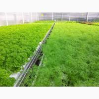 Продать укроп зеленый