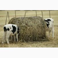 Нетели, молодняк КРС (телята и бычки)