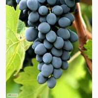 Продам виноград, сорт Молдова