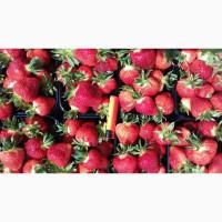 Продам оптом свежую клубнику сорта Клери, Джоли урожай 2019 года