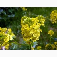 Семена сурепицы озимой: Грация, Вероника