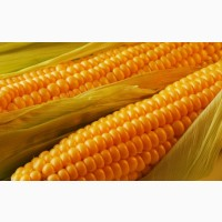Закупаем кукурузу на постоянной основе