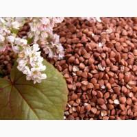 Семена гречихи Анастасия