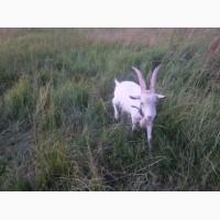 Live Zaanensky Goats