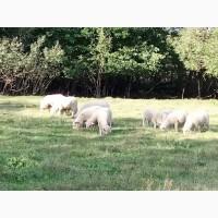 Продам баранов, овец, ягнят породы куйбышевская