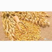 Семена овса сорт Фристайл