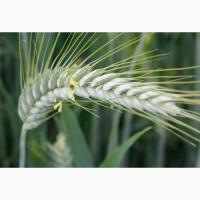 Семена озимого тритикале:ПХ 113, Прометей