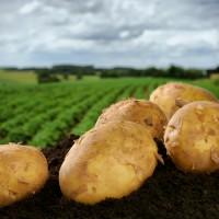 Картофель свежий Экспорт / Fresh potatoes Eksport