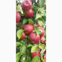 Яблоко свежее для промпереработки