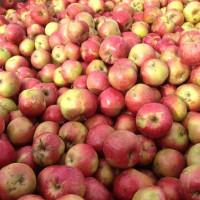 Яблоко для промпереработки