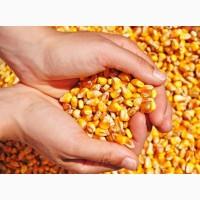 Куплю кукурузу фуражную