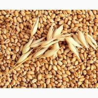 Семена пшеницы, сорт Мадонна