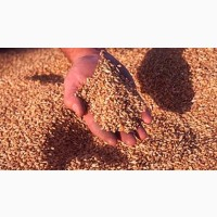 Закупаем оптом фуражное зерно