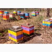 Продаются пчелиные семьи бакфаст