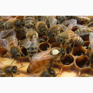 Пчеломатки Бакфаст F1