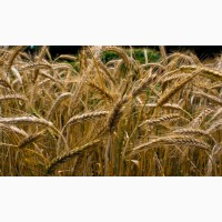 Продаю зерно фуражное, Тритикале