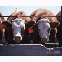 Куплю бычков, коров у населения и организаций.Дорого